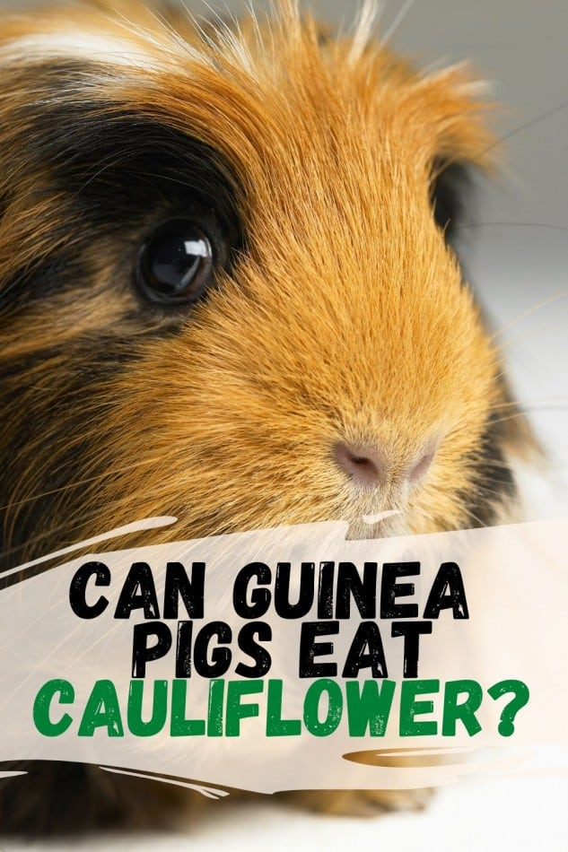 guinea pig eating