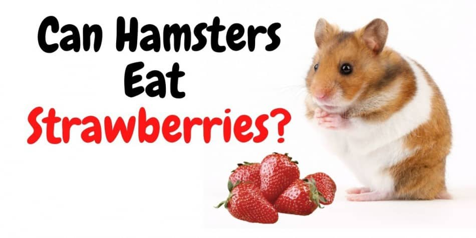 can hamsters eat strawberroes