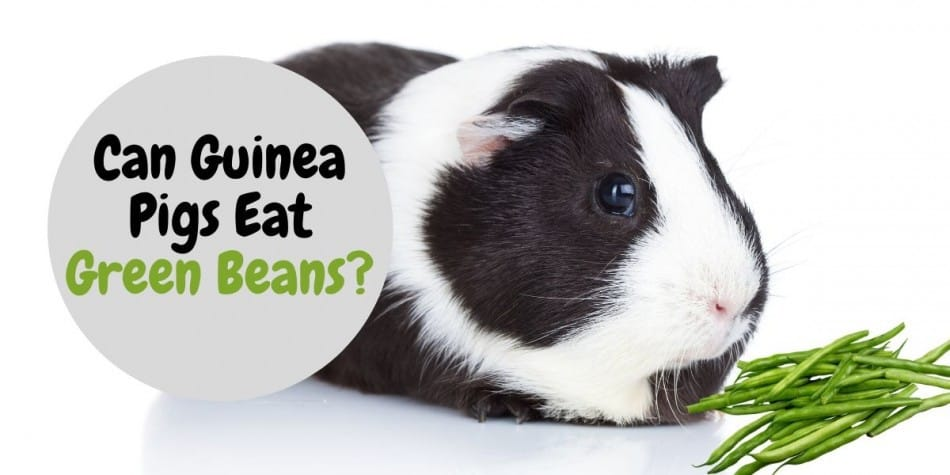 guinea pig eating green beans