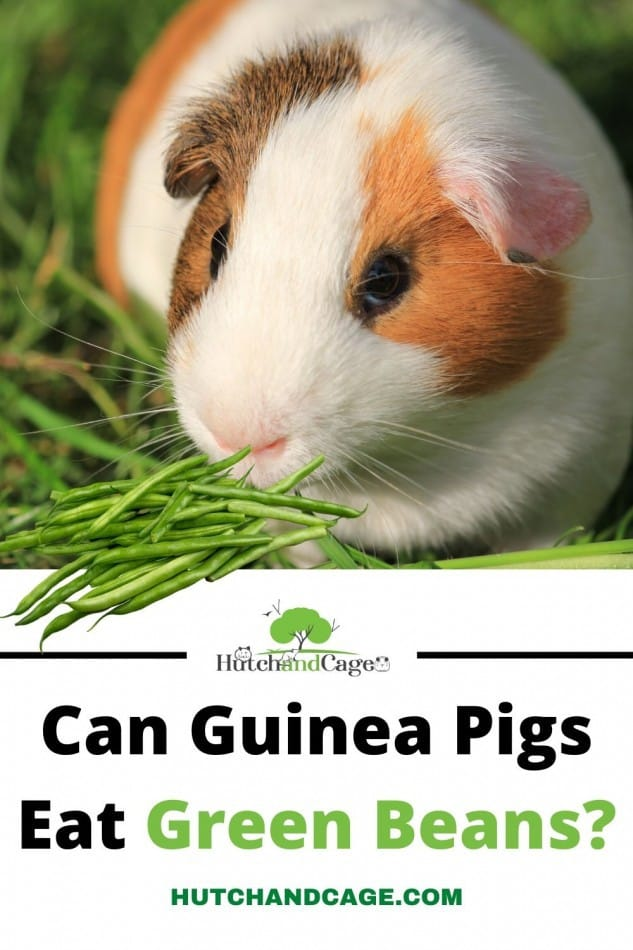 Can Guinea Pigs Eat Green Beans? Are they beneficial 1