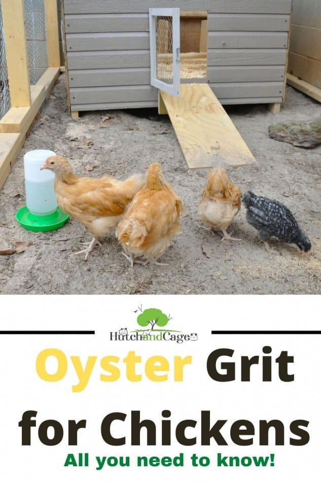 chickens eating oyster grit