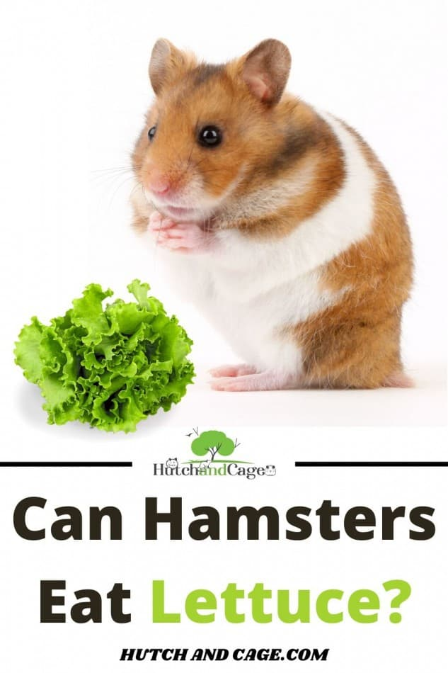 hamster eating lettuce