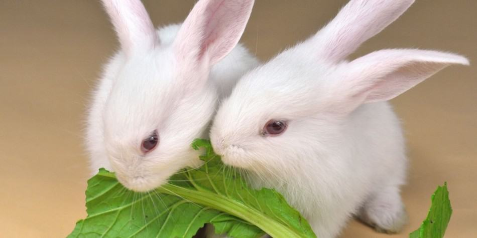 two white rabbits eating
