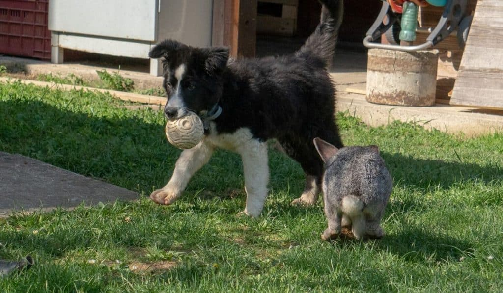 dog playing with a rabbit