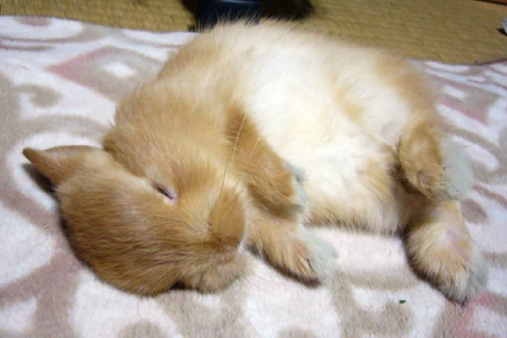 rabbit sleeping on a fleece