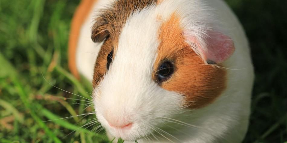 Can Guinea Pigs Eat Green Beans? Are they beneficial 2