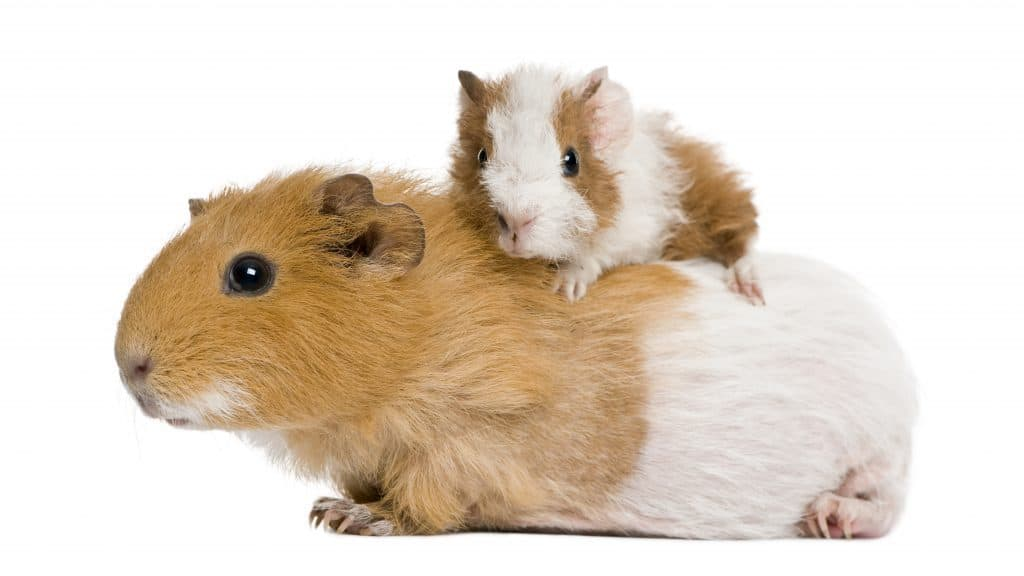 baby and adult guinea pig