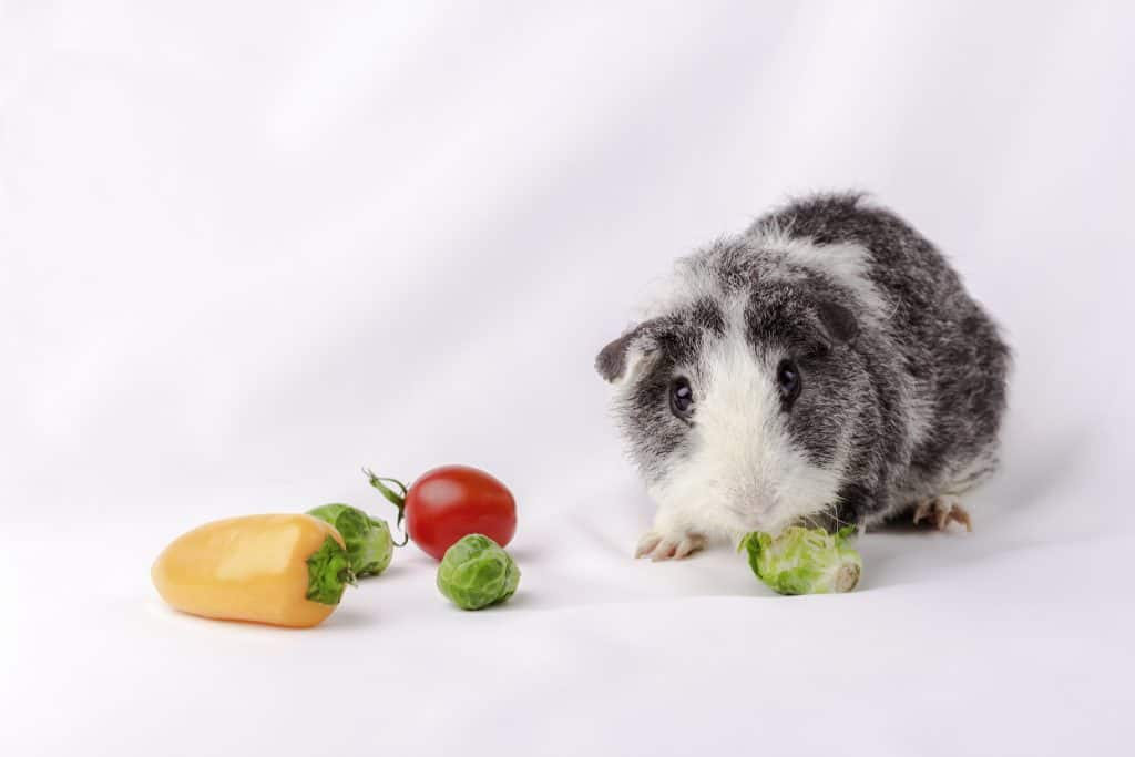 Guinea pig eating tomatoes