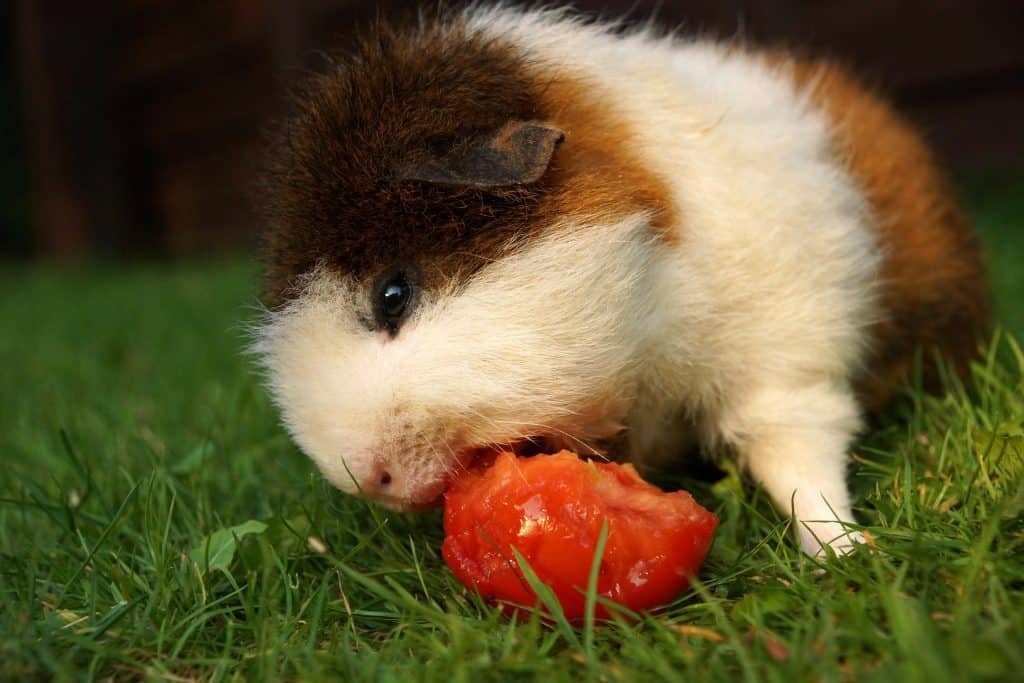 guinea pig eating tomatoes.