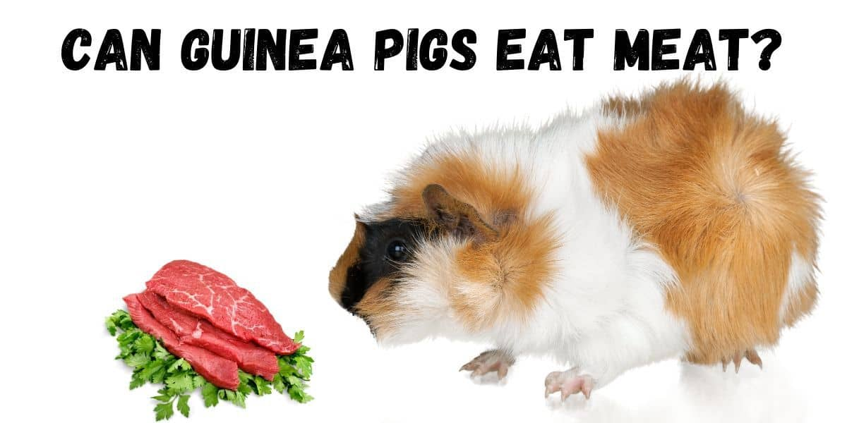 guinea pig eating meat