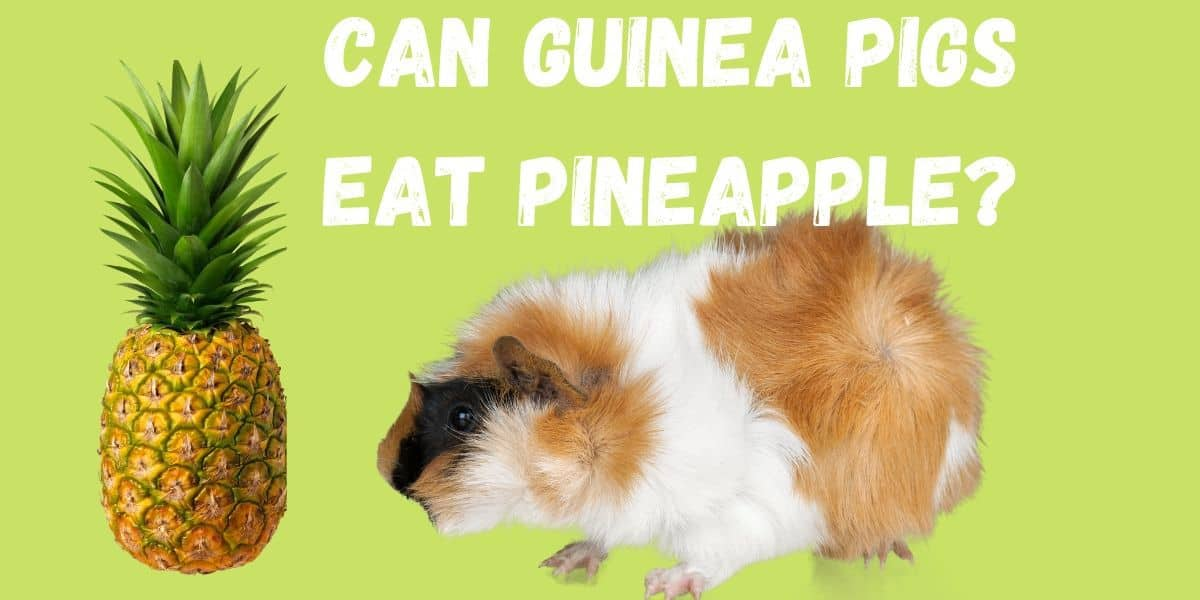 guinea pig eating pineapple