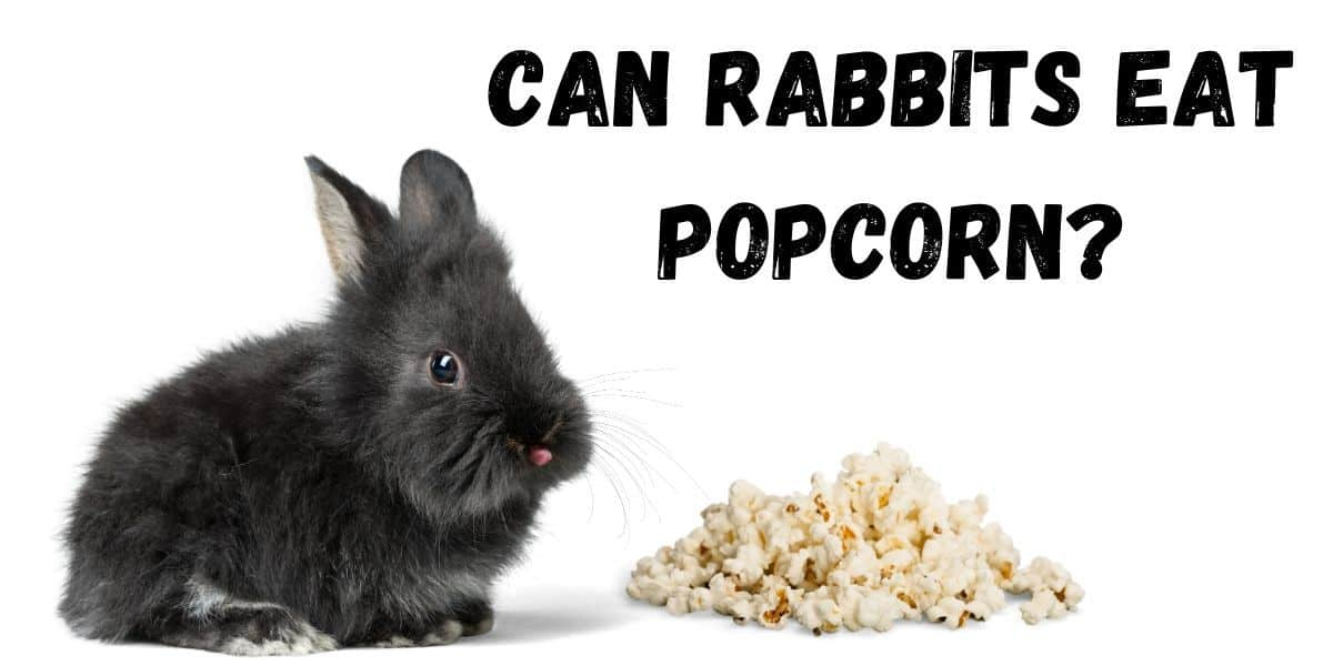 a rabbit eating popcorn