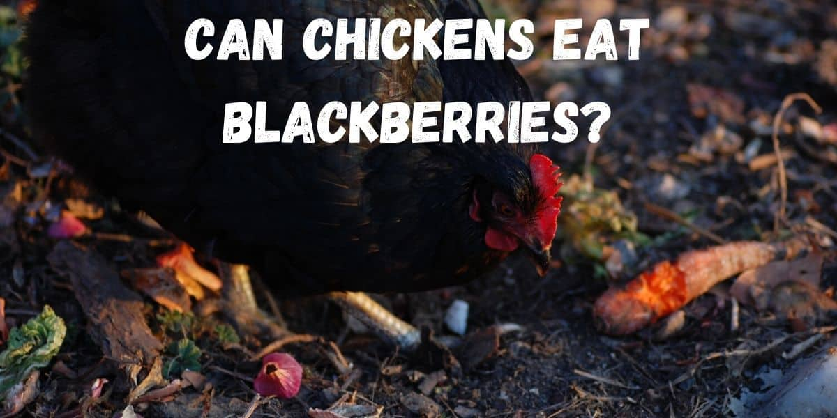 chicken eating blackberries