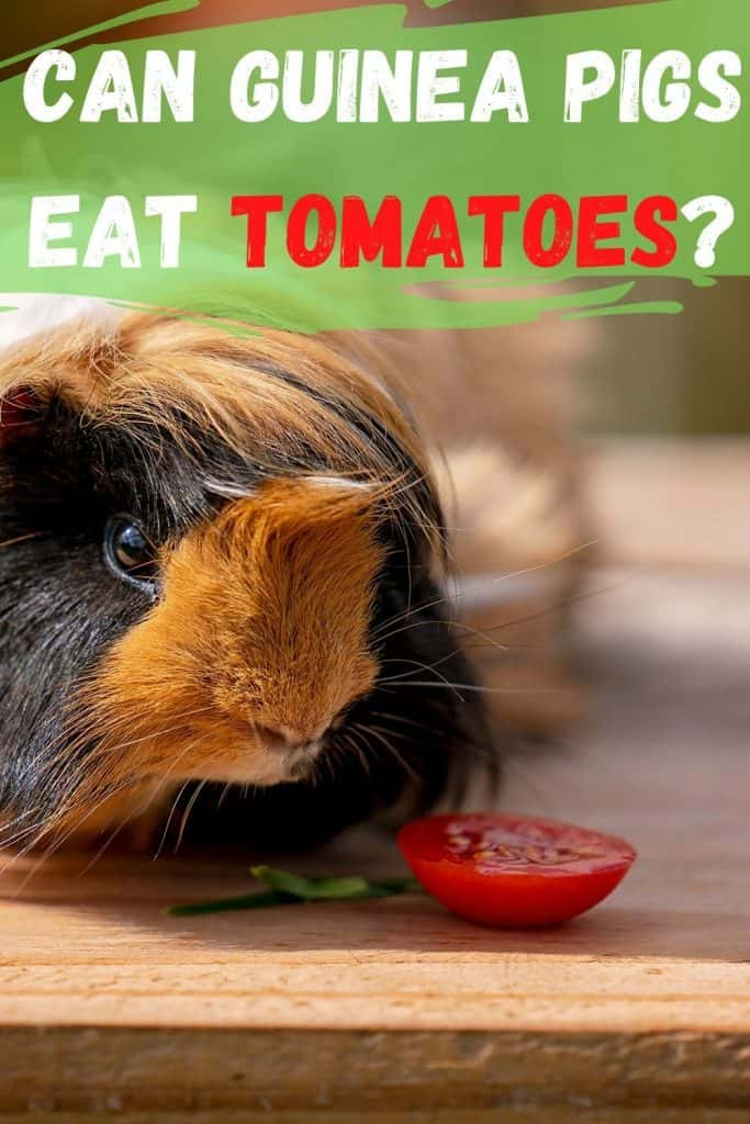 guinea pig eating a tomatoe