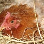 chicken on a nest of hay