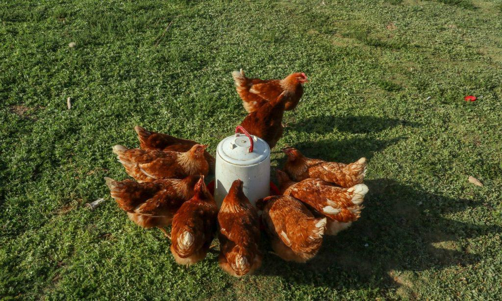 chickens drinking clean water
