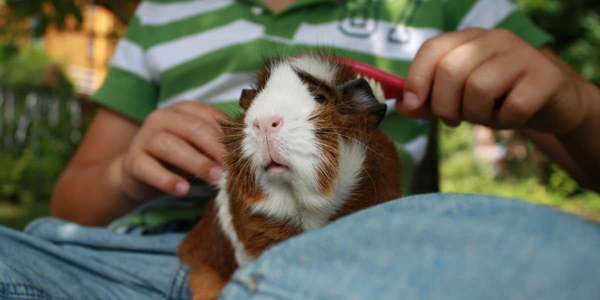 brushing a guinea pig