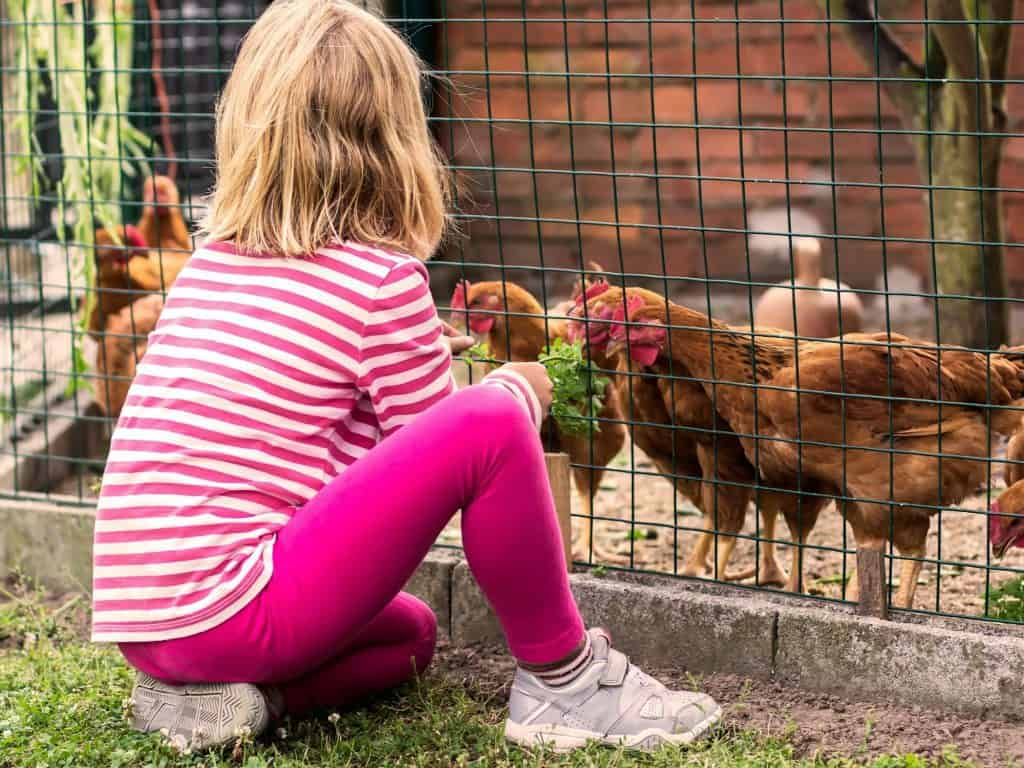 young child feeding hens