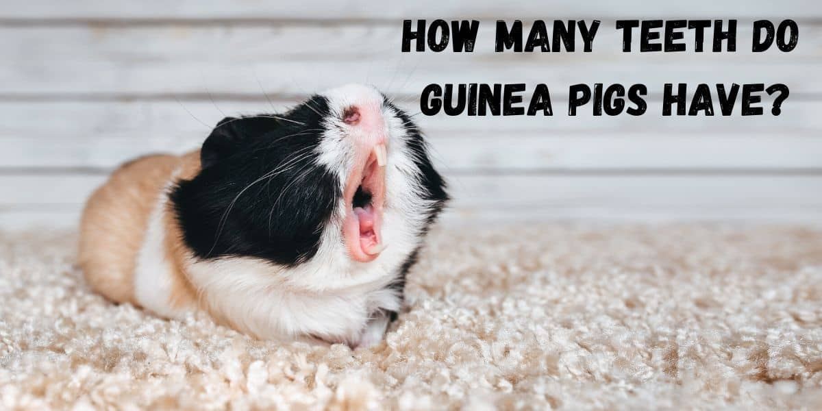 GUINEA PIG SHOWING TEETH