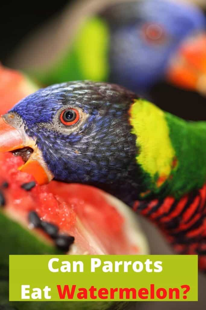 parrot eating watermelon