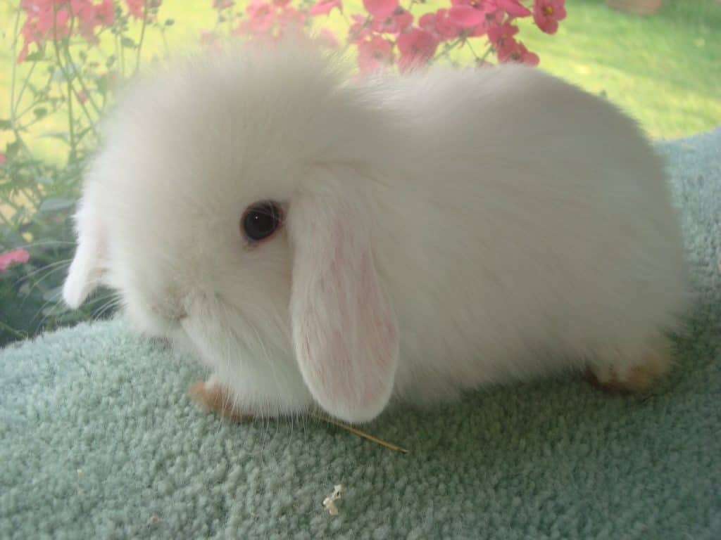 Cutest Pet Rabbits | Which Are The Cutest Bunny Breeds In The World? 2