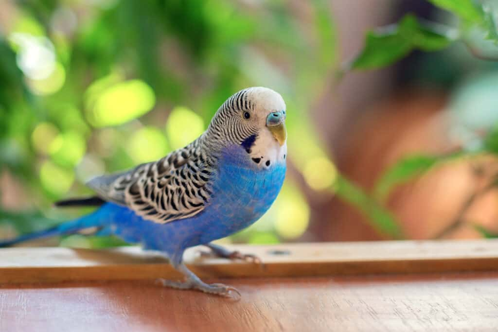 budgie escaping