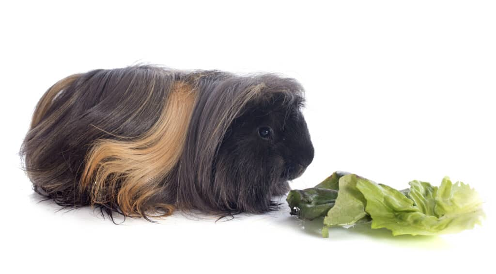 Peruvian Guinea Pigs eating lettuce