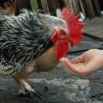 hen eating out of someones hand
