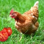 chickens eating a tomatoe