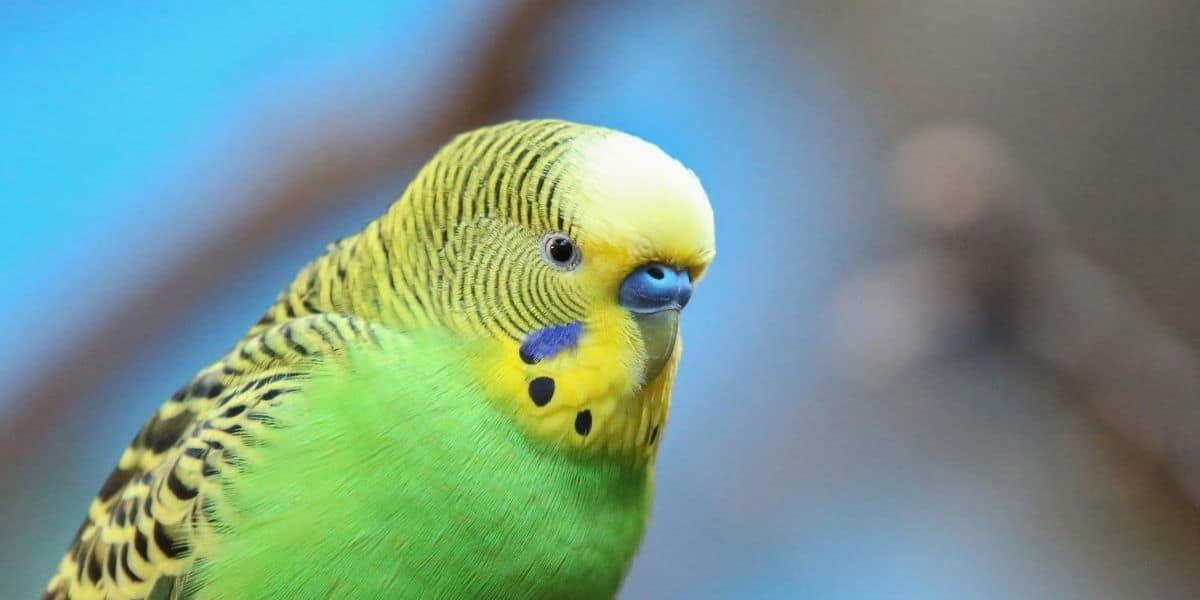 sad looking budgie