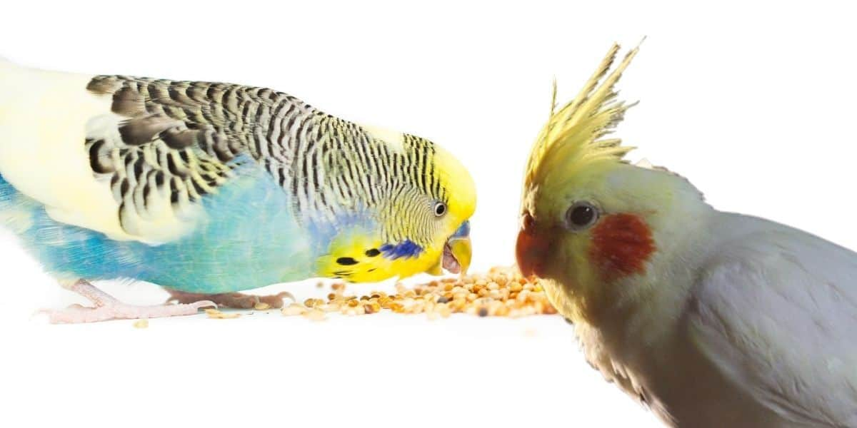 cockatiel and Budgie