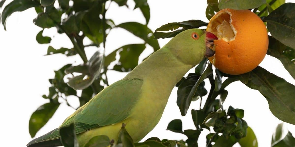 parakeet eating an orange