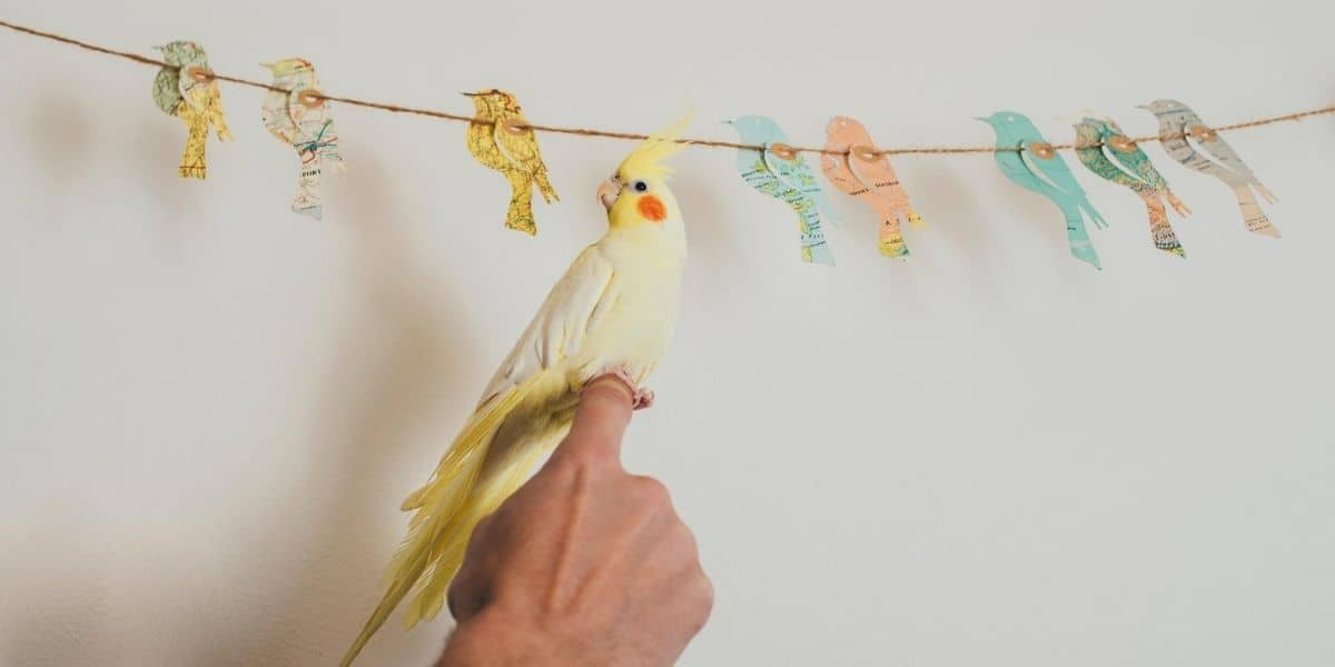 cockatiel and owner
