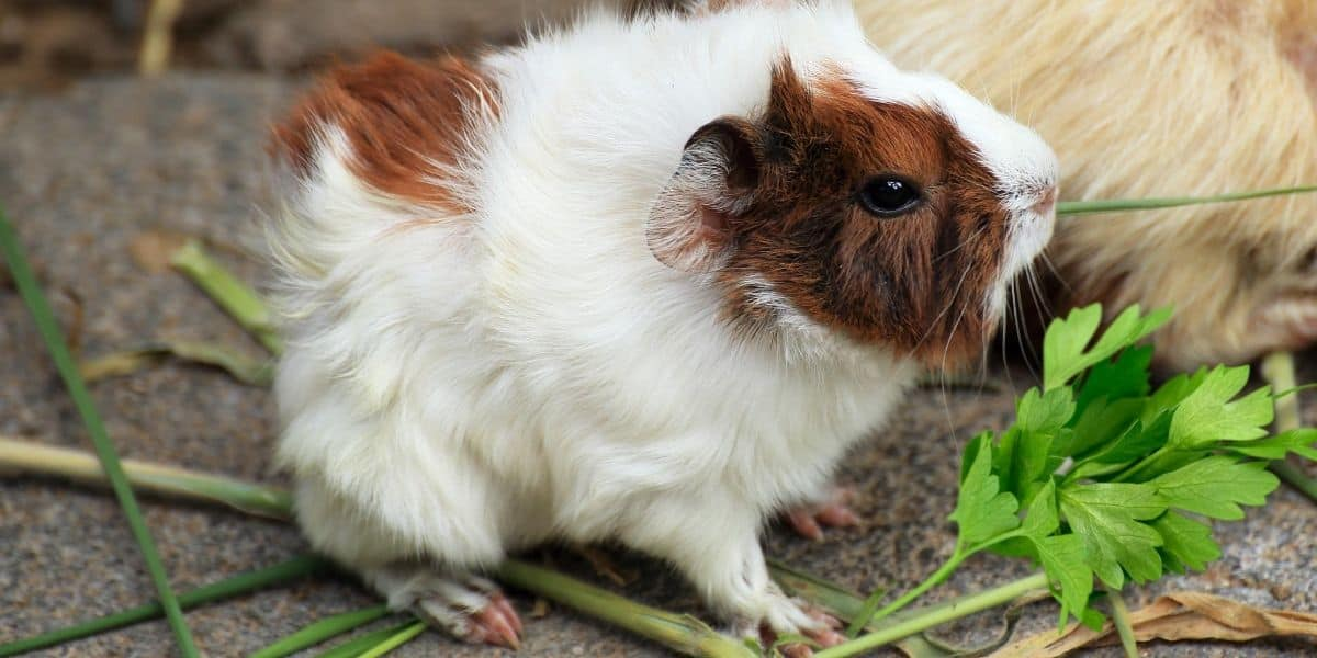 guinea pig eating herbs