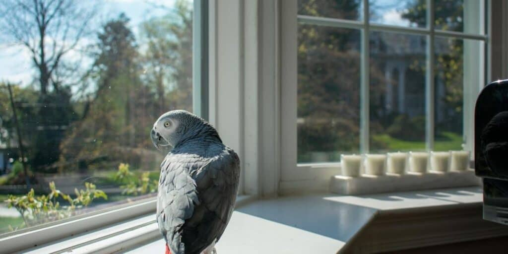 parrot looking out of a window