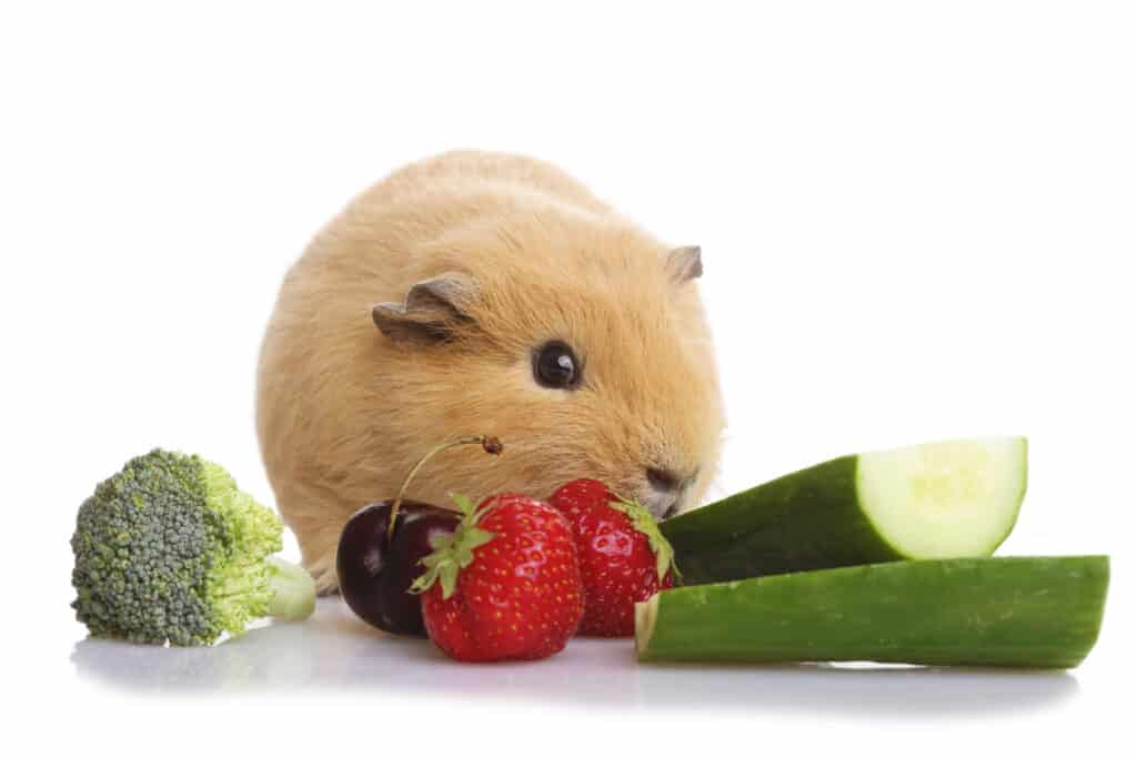 guinea pig with fruit