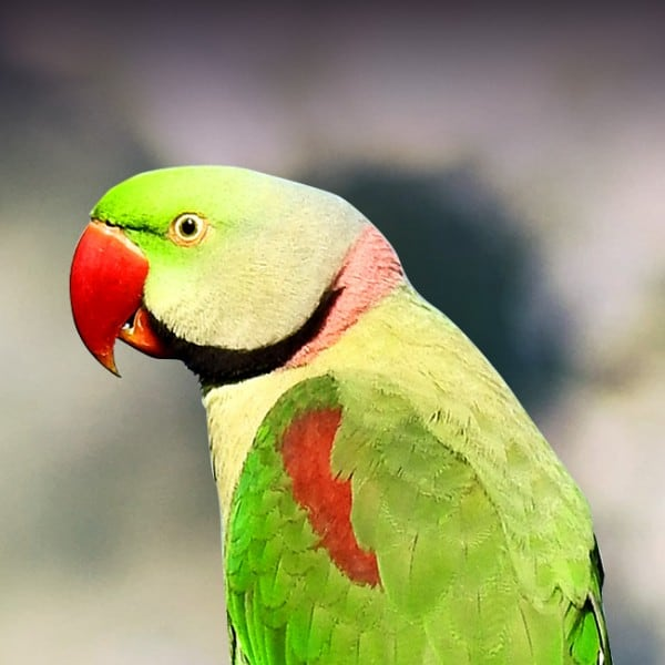 7 Best Parakeets for a First-Time Keepers 4