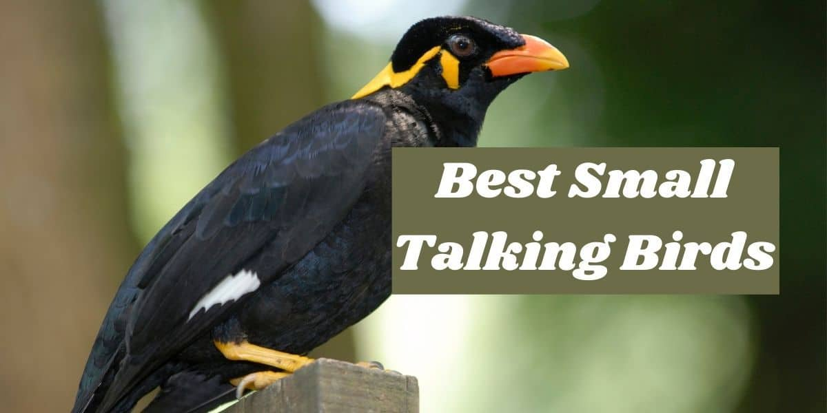 best small talking birds