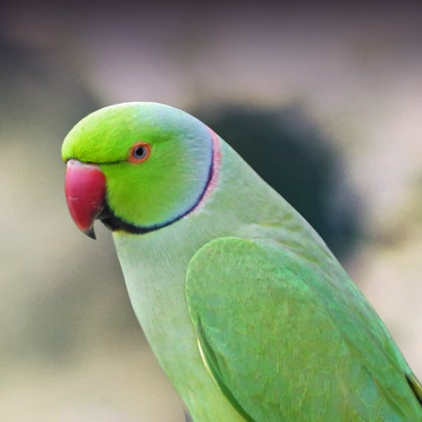7 Best Parakeets for a First-Time Keepers 1