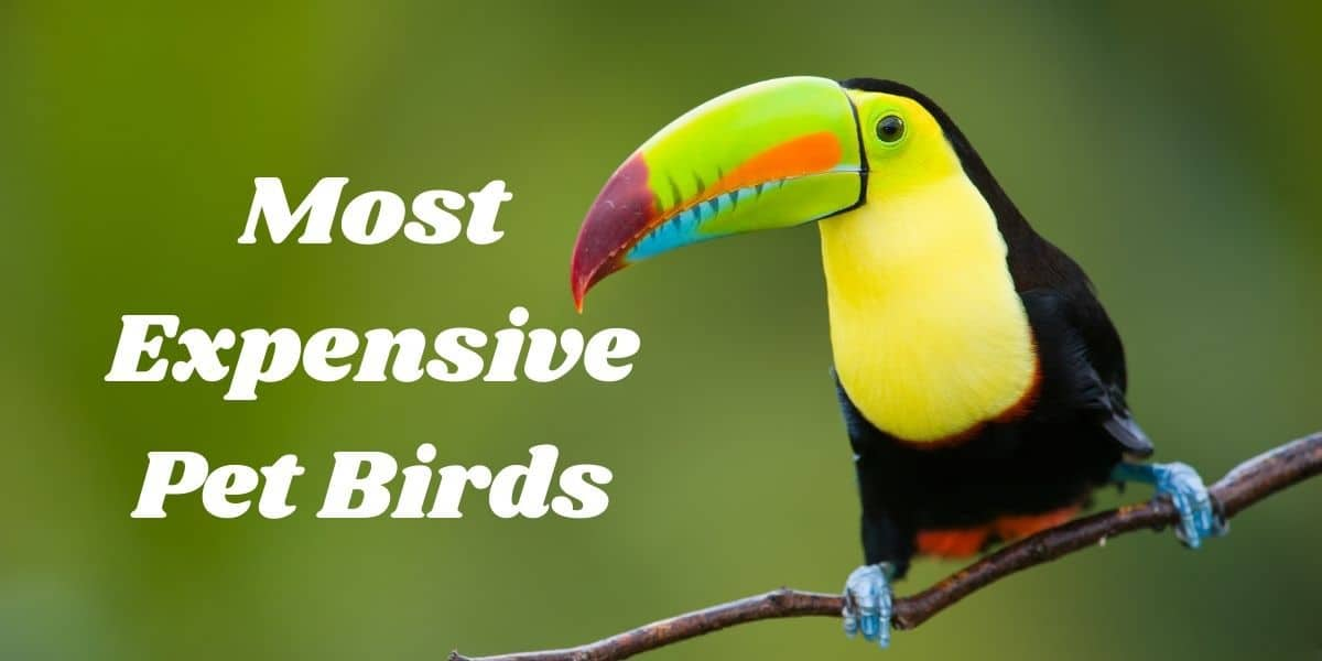 Top 7 Most Expensive Pet Birds ( Which do you want?) 1