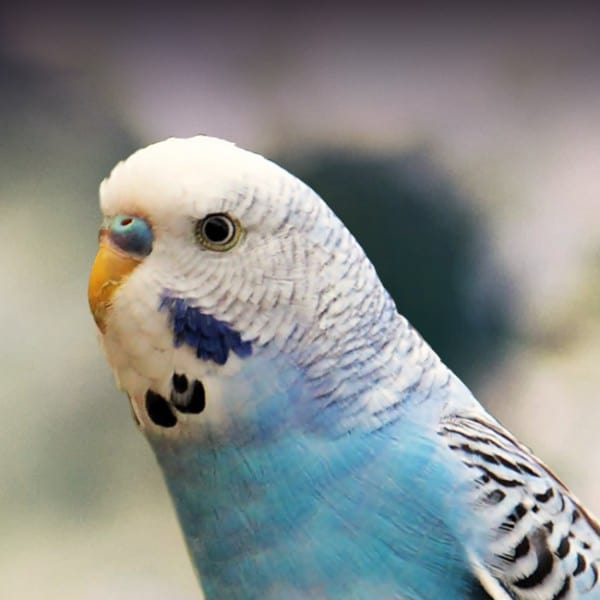 7 Best Parakeets for a First-Time Keepers 5