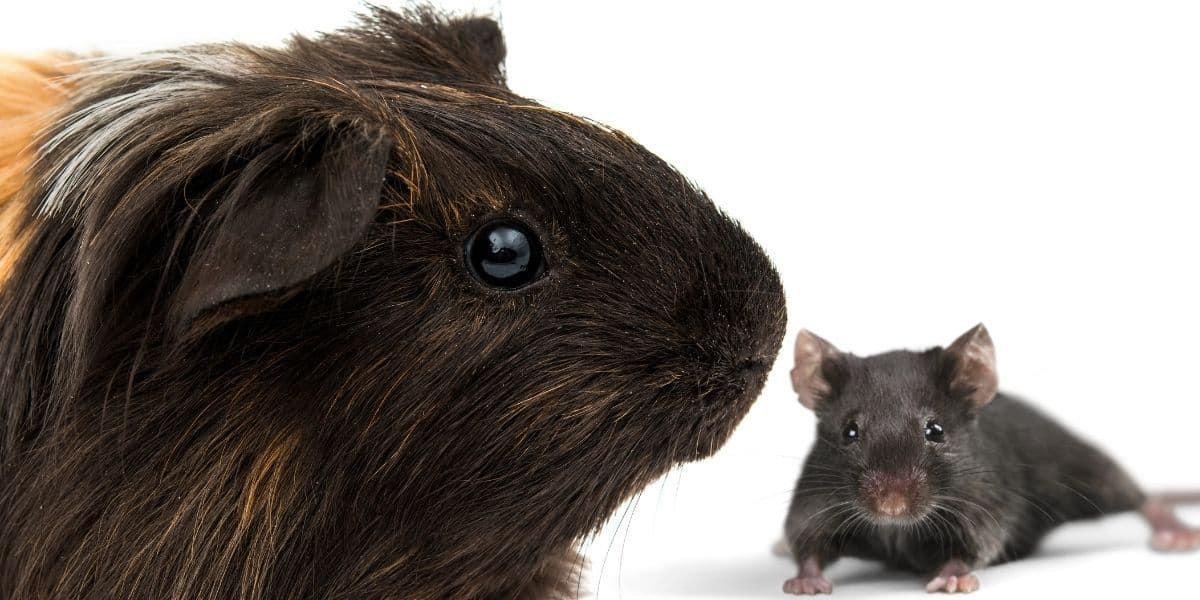 guinea pig and wild mouse