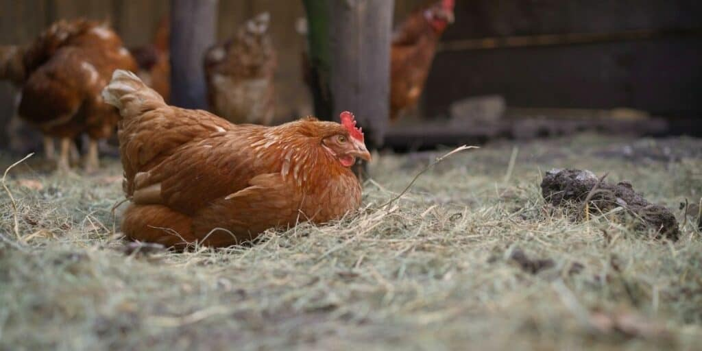 best poultry bedding