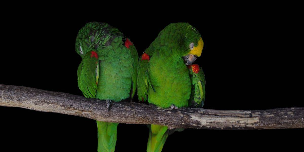 two parakeets sleeping
