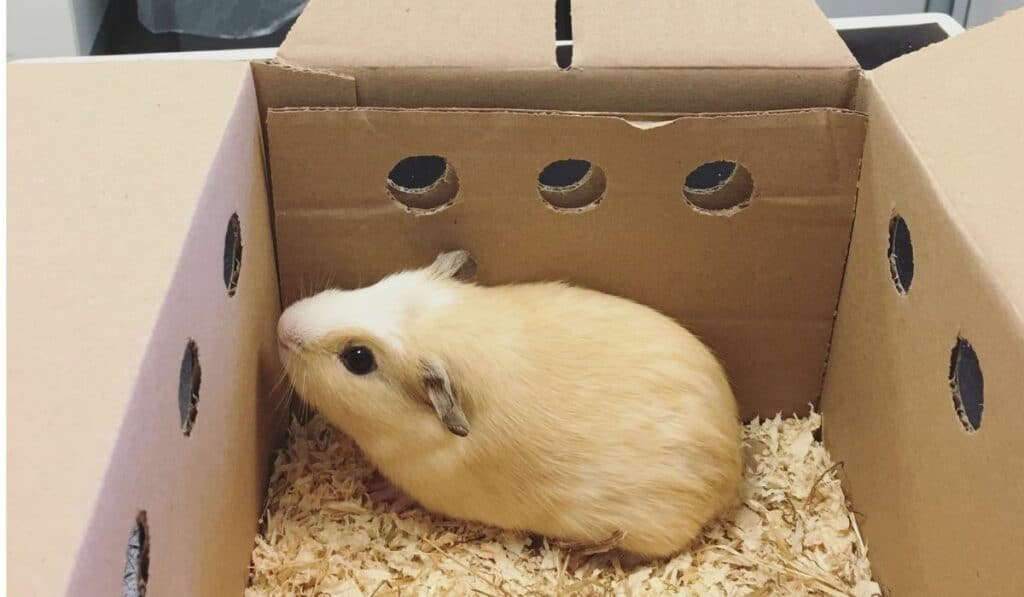 guinea pig in a box