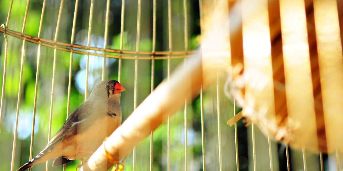 zebra finch in captivity