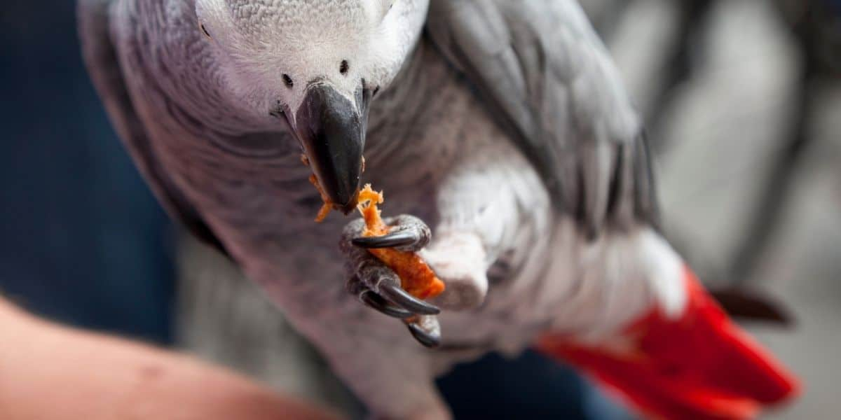 Can Parrots Eat Meat