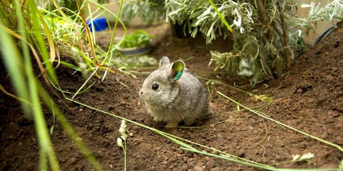 smallest rabbit in the world
