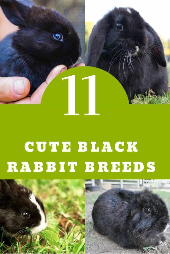 BLACK RABBIT BREEDS