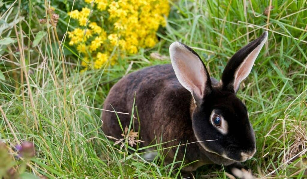 Black Rex Rabbit